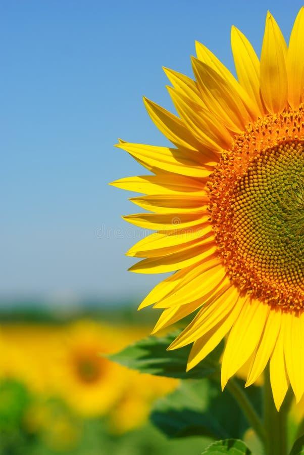 Sunny sunflower royalty free stock image