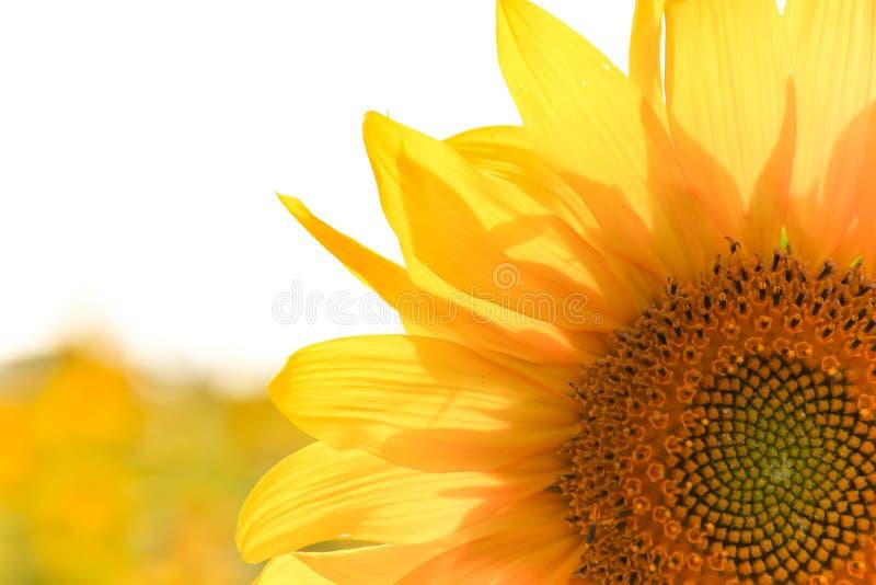 Sunny Sunflower Close upp arkivbild