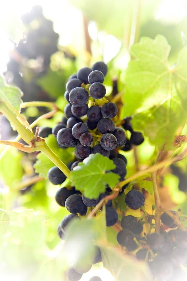 Download Sunny Vineyard 3 stock image. Image of hanging, harvest - 14868417