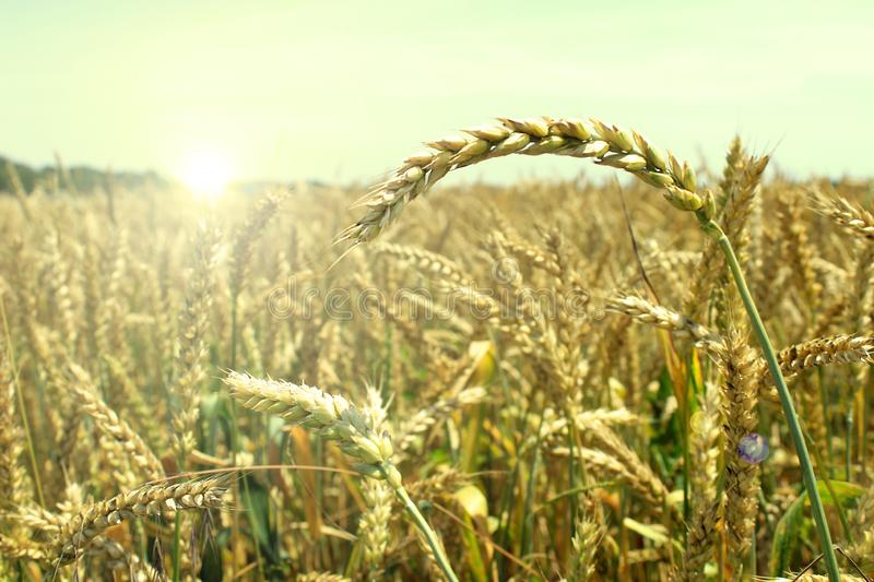 Sunny wheat field is ready for harvesting. Yellow pieces of wheat are reaching out towards the sun royalty free stock photos