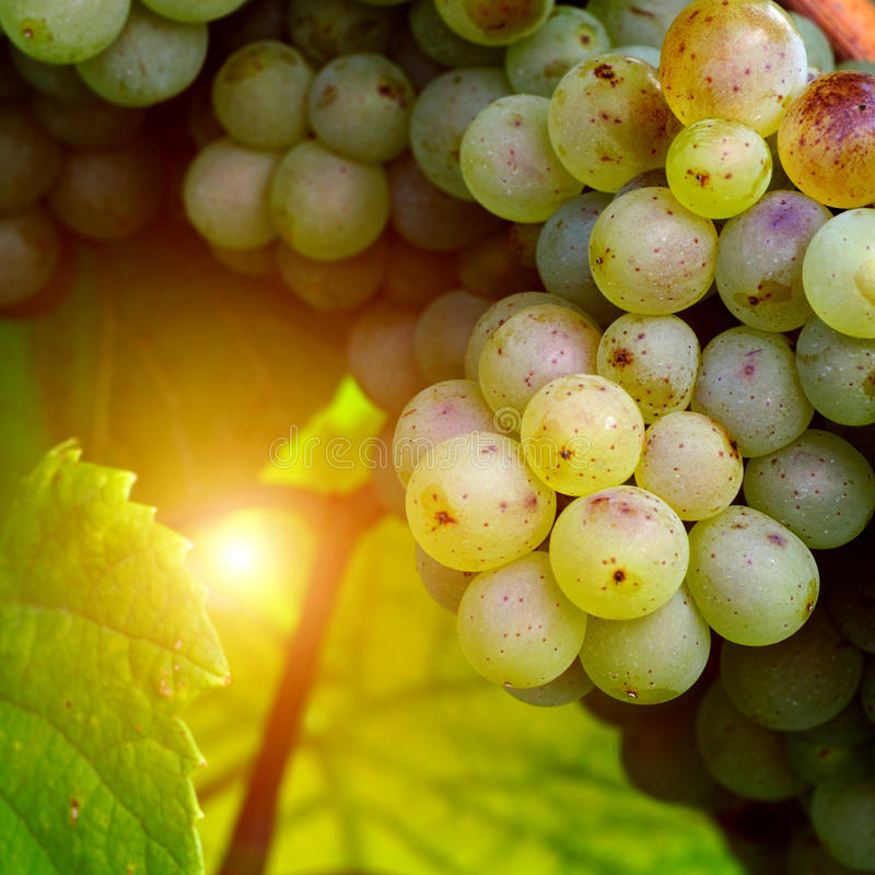 Download Sunny white grape stock photo. Image of agriculture, countryside - 26911538