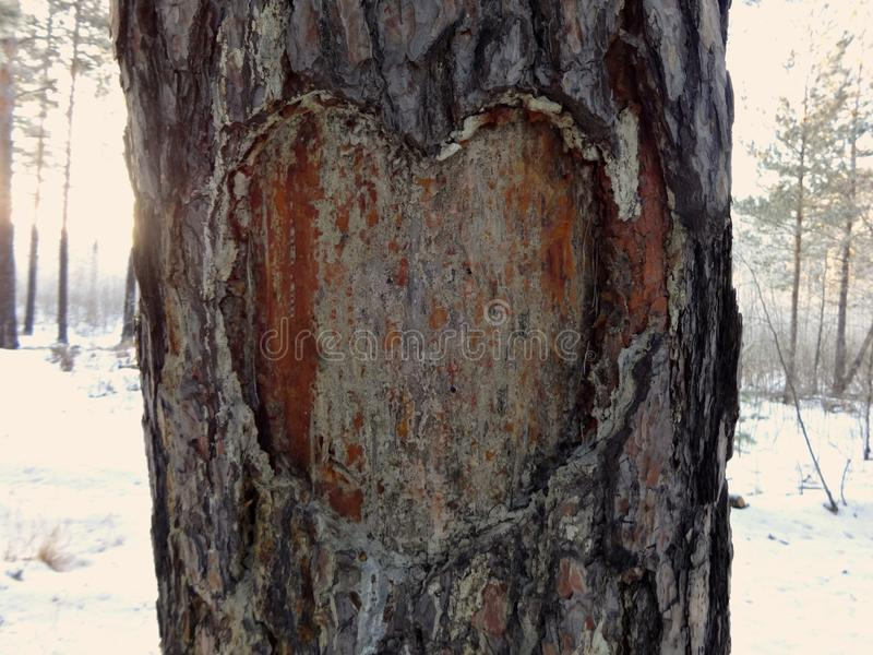 In the forest on the trunk of pine carved heart-a symbol of love royalty free stock photos