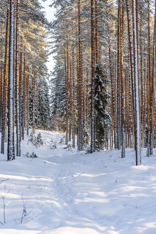 Sunny Winter Day in Pine Tree Forest, Abstract Background. With Tourist Hiking Trail Leading Deeper in Woods, Concept of Peace and Harmony in Countryside, Free royalty free stock photography