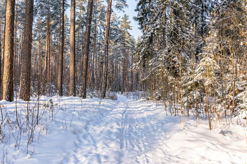 Sunny Winter Day in Pine Tree Forest, Abstract Background. With Tourist Hiking Trail Leading Deeper in Woods, Concept of Peace and Harmony in Countryside, Free stock image