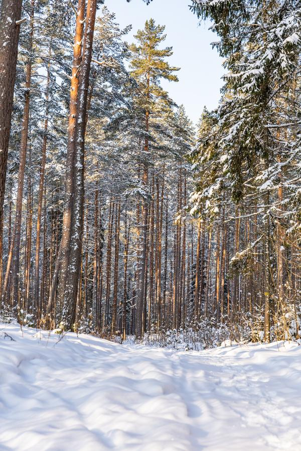 Sunny Winter Day in Pine Tree Forest, Abstract Background. With Tourist Hiking Trail Leading Deeper in Woods, Concept of Peace and Harmony in Countryside, Free royalty free stock images