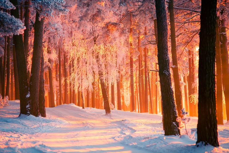 Winter park with tall trees covered with frost. Forest with path illuminated by warm sunlight. stock images