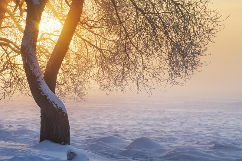 Sunny winter landscape at sunrise in foggy morning. Warm golden sunlight lights through tree in fog. Christmas background. Xmas royalty free stock image