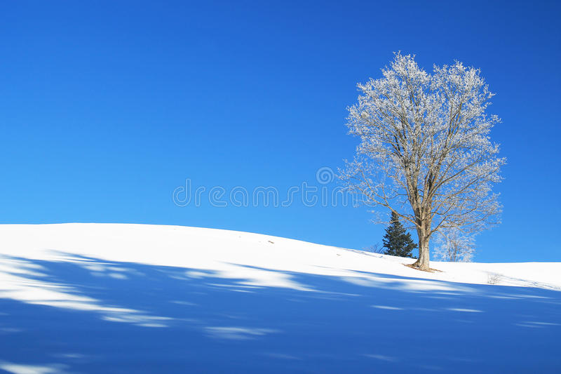 Sunny winter plain with a tree. Old tree covered with white hoarfrost and snow on its branches growing on the plain and blue sky stock images