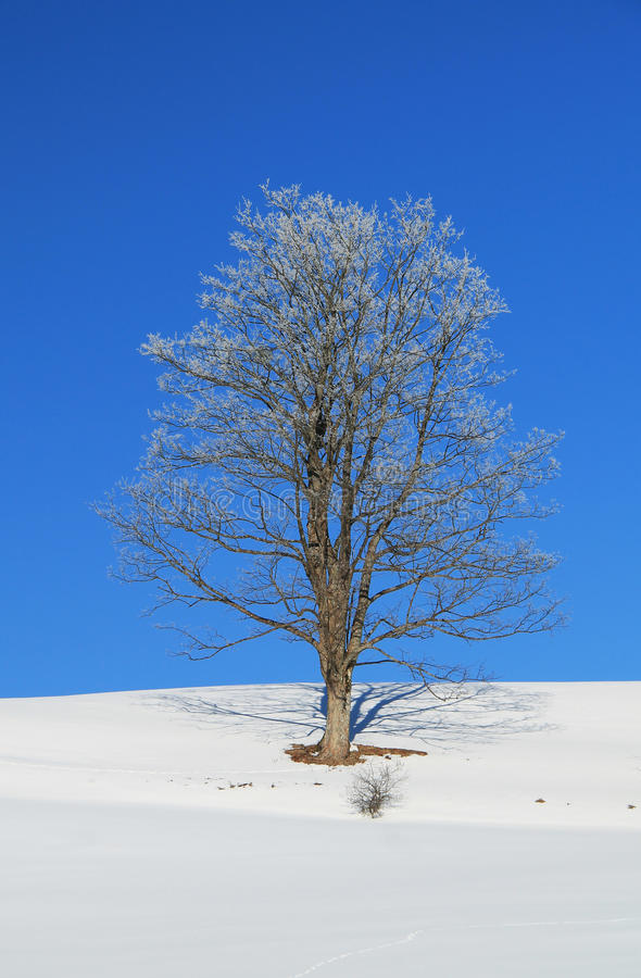 Sunny winter plain with a tree. Old tree covered with white hoarfrost and snow on its branches growing on the plain and blue sky stock photography