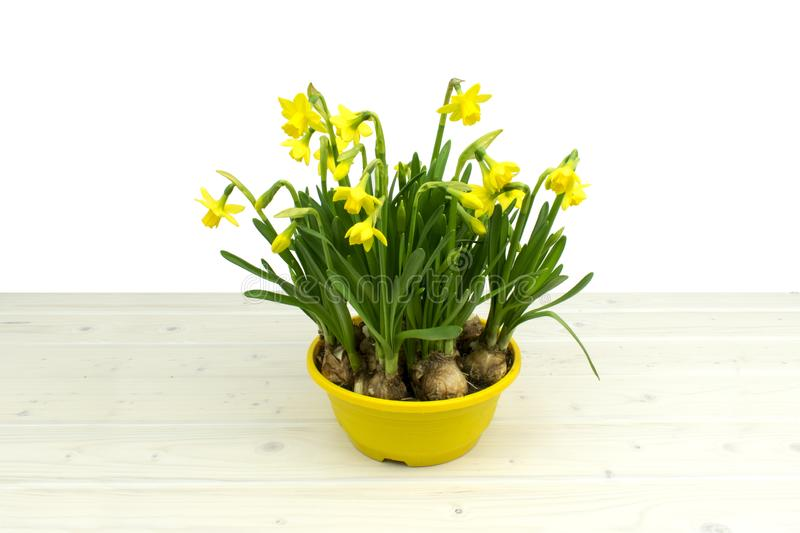 Sunny yellow daffodil narcisses on a wooden table royalty free stock image