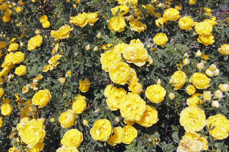 Sunny Yellow Rose Flowers Bush fotos de archivo libres de regalías