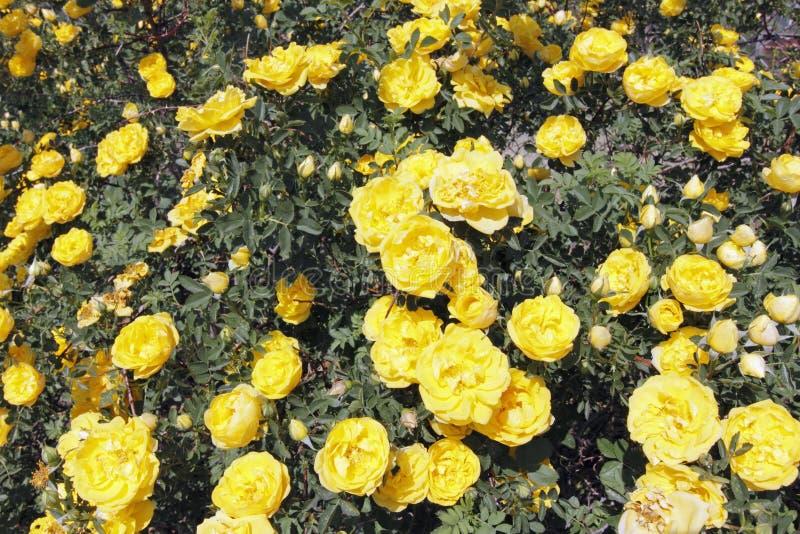 Sunny Yellow Rose Flowers Bush royalty free stock photos
