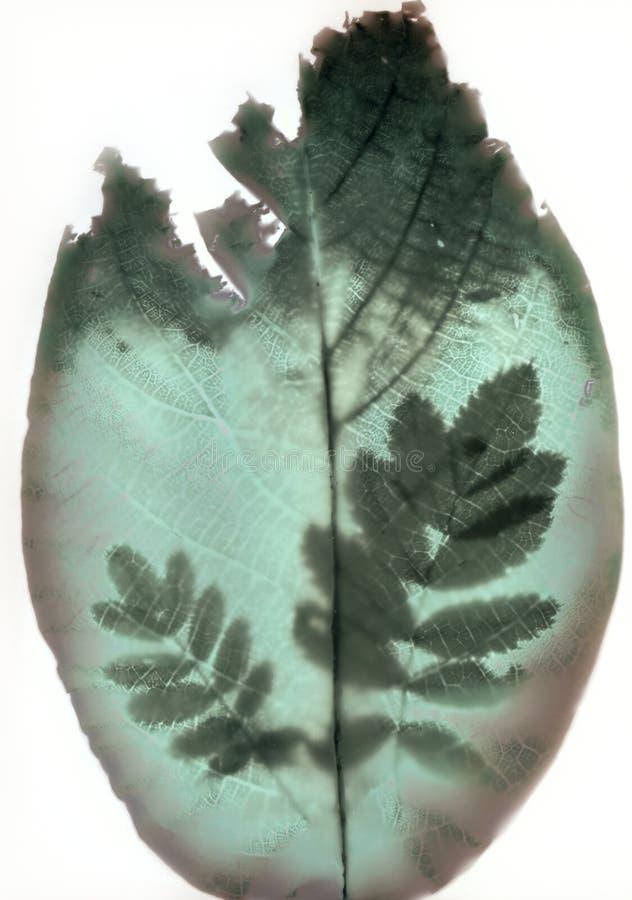 Sunprint di una noce e delle foglie del potentilla fotografia stock libera da diritti