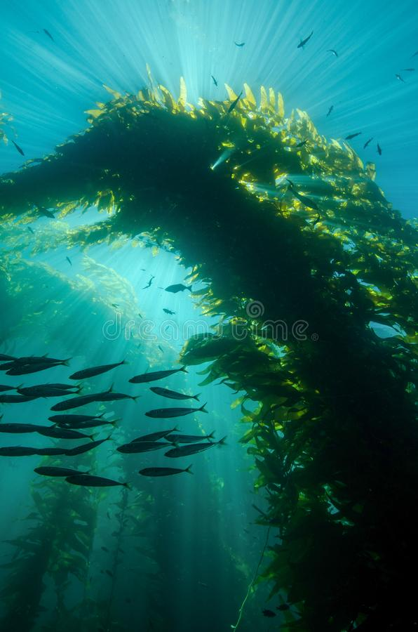 Sunrays που χορεύει μέσω Kelp σε Καλιφόρνια στοκ φωτογραφία με δικαίωμα ελεύθερης χρήσης