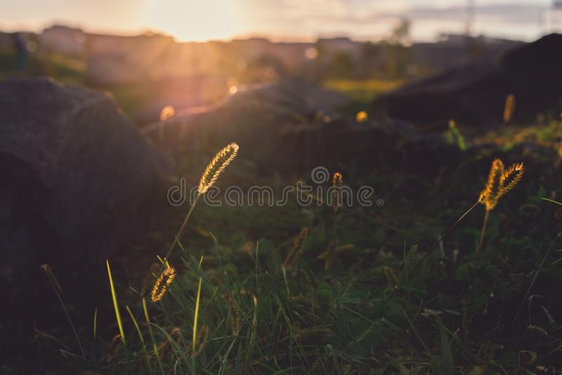 Sunrays над полем на заходе солнца стоковые фотографии rf