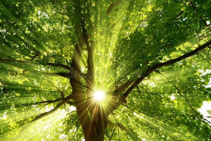 Sunrays драматически падая через дерево стоковые изображения