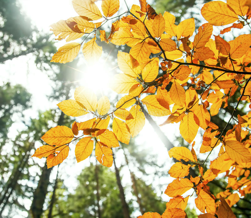 Sunrays in the autumn beech leaves and branches royalty free stock image