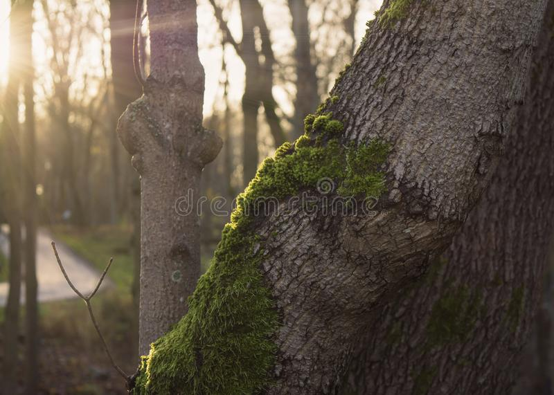 Sunrays on mossy tree trunk in autumn forest. Rays of golden sunlight seeping in on a mossy tree in misty autumn woods royalty free stock photography