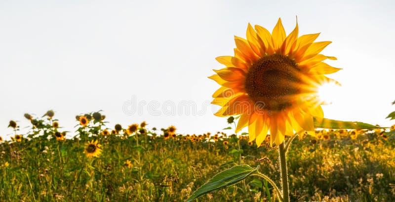 Sunrays over sunflower field stock images