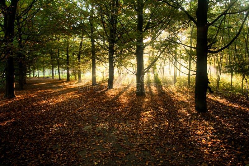 Sunrays par des arbres de hêtre en automne images libres de droits