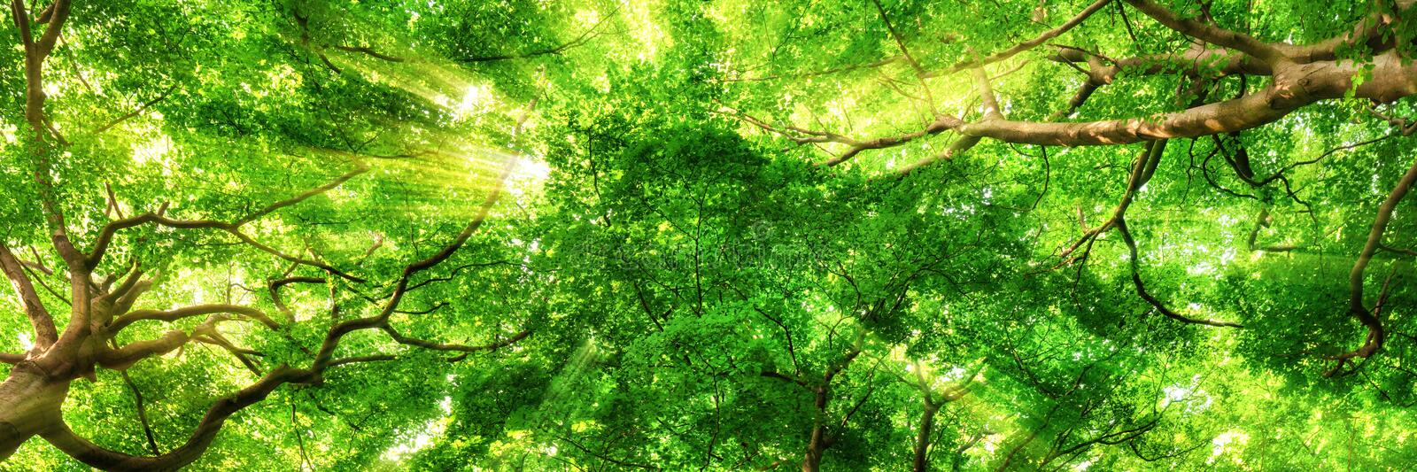 Sunrays shining through high treetops. Sunrays shining through green leaves of high treetops in a beech forest, panorama format royalty free stock images