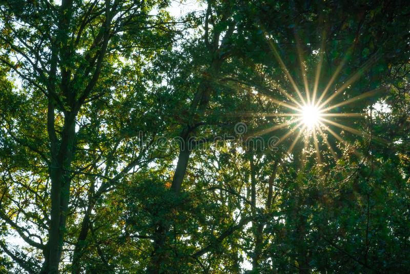 Sunrays in the woods in summer. Sunrays in the forest woods in summer in England royalty free stock photos