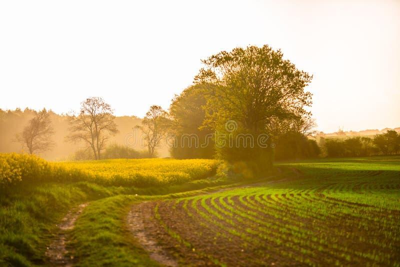 Sunrice над желтым полем стоковая фотография