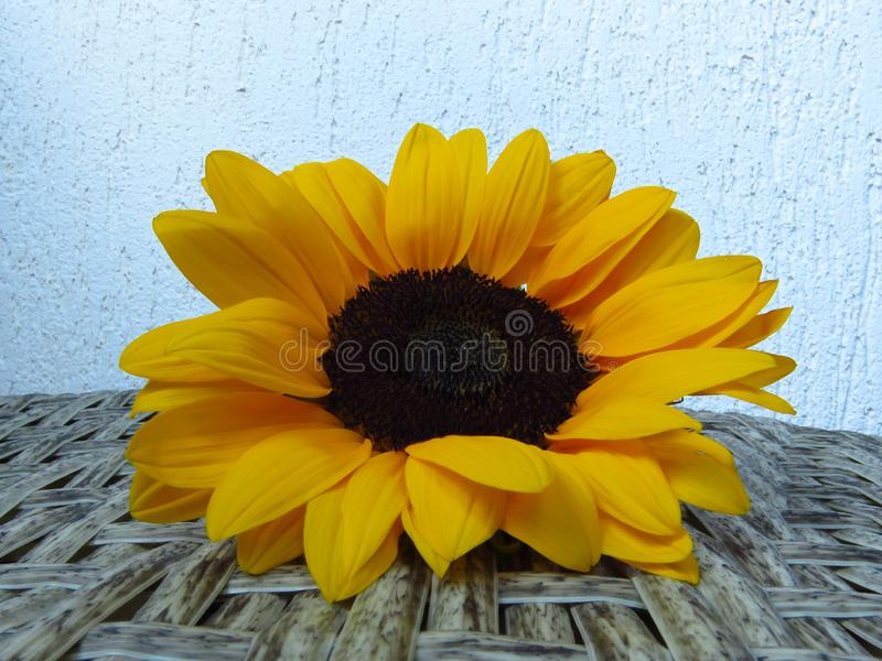 Sunrich橙黄夏天高向日葵特写镜头视图在藤条和白色墙壁背景纹理的 免版税库存照片