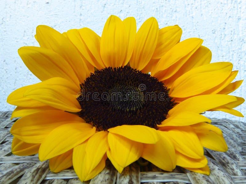 Sunrich橙黄夏天高向日葵特写镜头视图在藤条背景纹理的 库存照片
