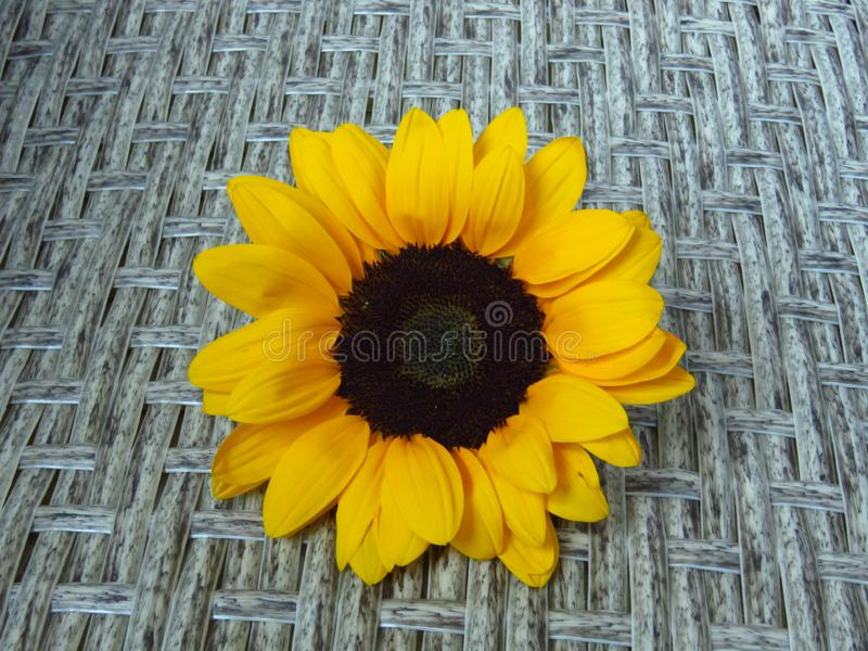 Sunrich橙黄夏天高向日葵特写镜头视图在藤条背景纹理的 免版税图库摄影