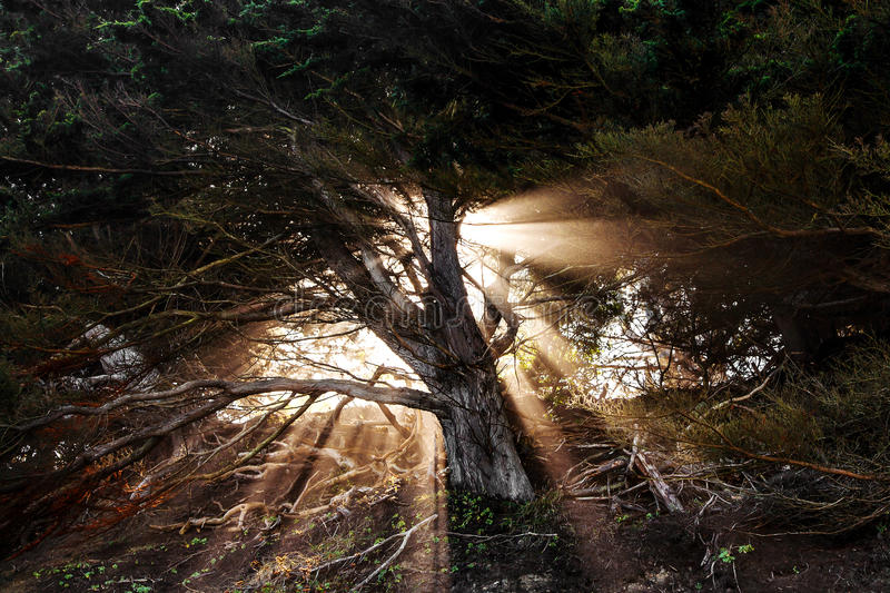 Sunrise beams going through the pine tree stock images
