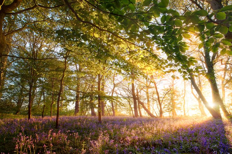 Sunrise in bluebell forest woodland. Stunning bluebell woodland at sunrise in England. Wild blue and purple flowers display during May spring time in the forest royalty free stock photos