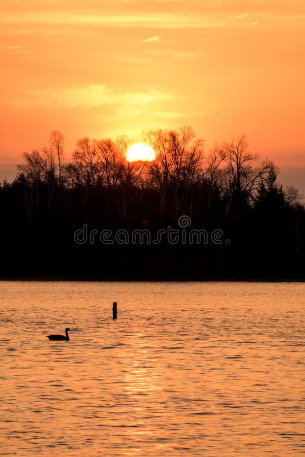 Sunrise And Canada Goose At Island Lake Conservation Area. The sun pops over the treeline at sunrise at the eastern end of Island Lake Conservation Area in royalty free stock photo