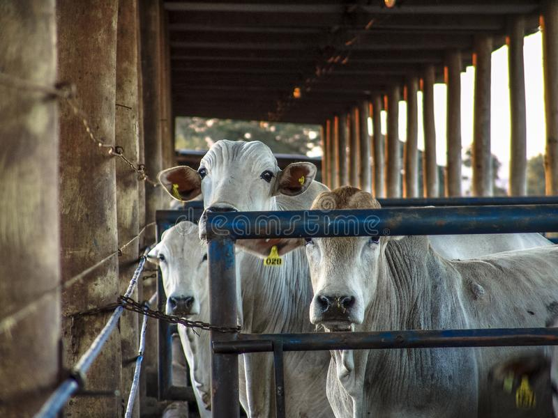 Sunrise of cattle on confinement. In Brazil stock images