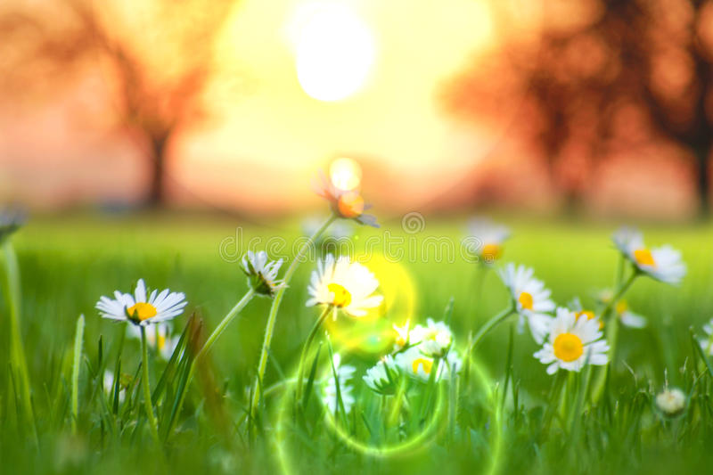 Sunrise and daisies. Beautiful sunrise scene over a few daisies flowers stock photography