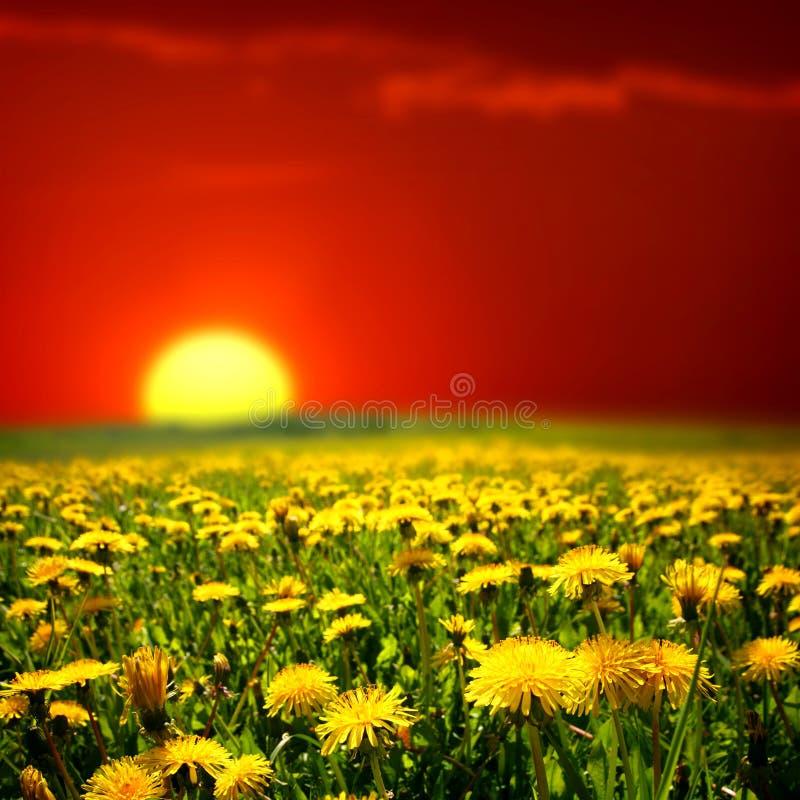 Sunrise on dandelion field stock photos