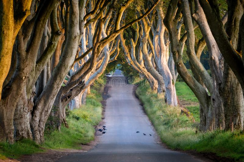 Dark Hedges. Sunrise at Dark Hedges in county Antrim, Northern Ireland royalty free stock images