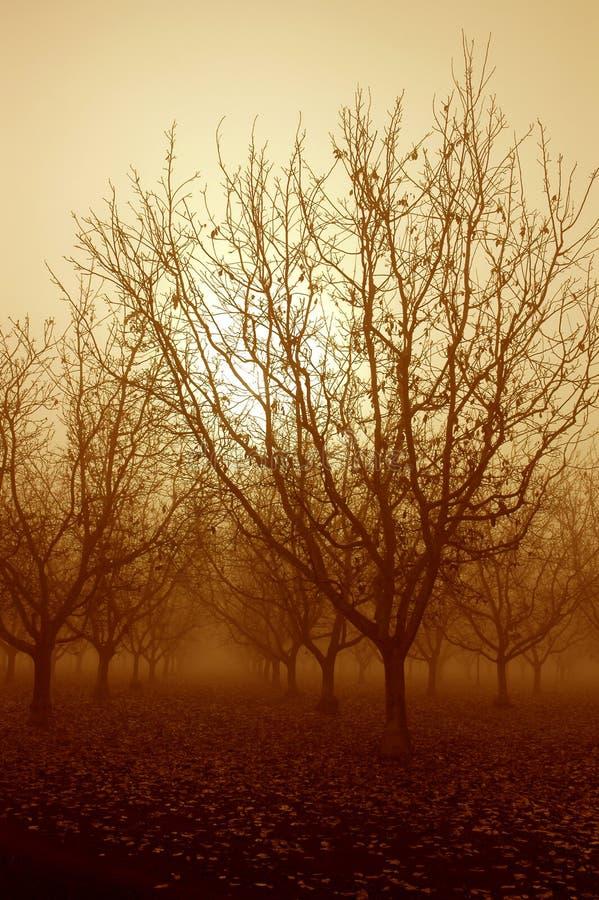 sunrise drzew orzech włoski zdjęcie stock