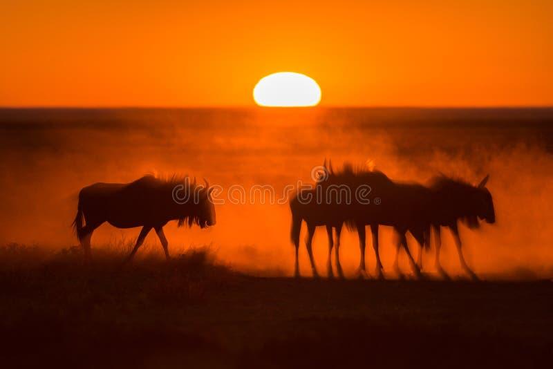Sunrise in Etosha royalty free stock photo
