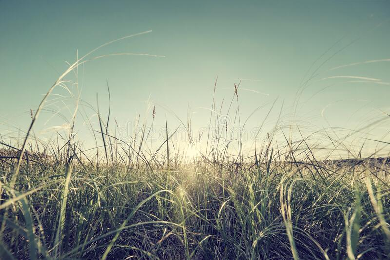 Sunrise and feather grass on meadow royalty free stock images