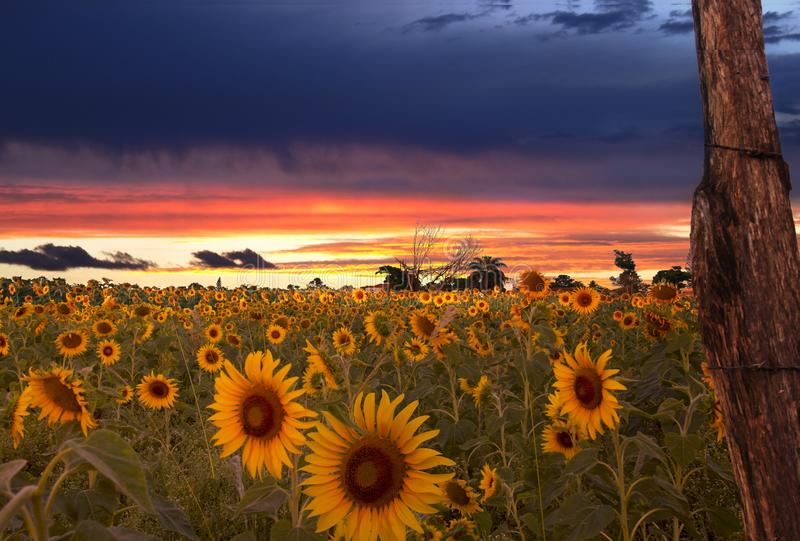 Sunrise and field of sunflowers stock image
