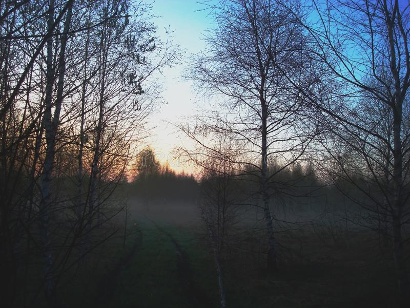 Sunrise in the foggy forest. Sunrise in the mysterious foggy forest. Morning in a young spring leafless forest. Bright gradient sky royalty free stock photo