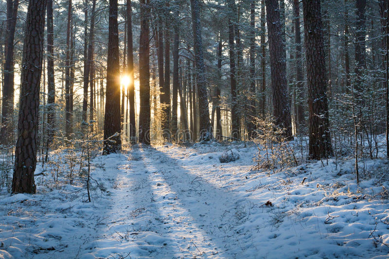 Sunrise in forest at winter royalty free stock image