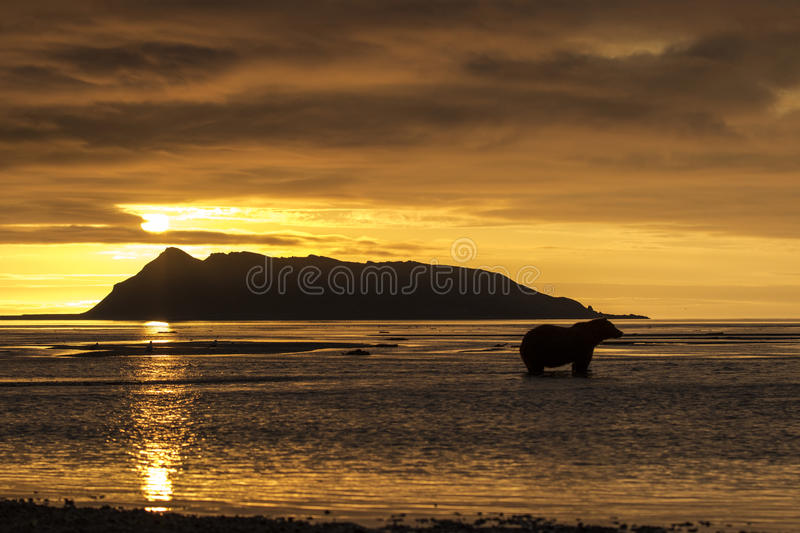 Sunrise and Grizzly bear at Hallo Bay. Sunrise at Hallo Bay. A Grizzly bear is standing in the shallow, low tide, water hunting Salmons. Photo taken on August royalty free stock photo