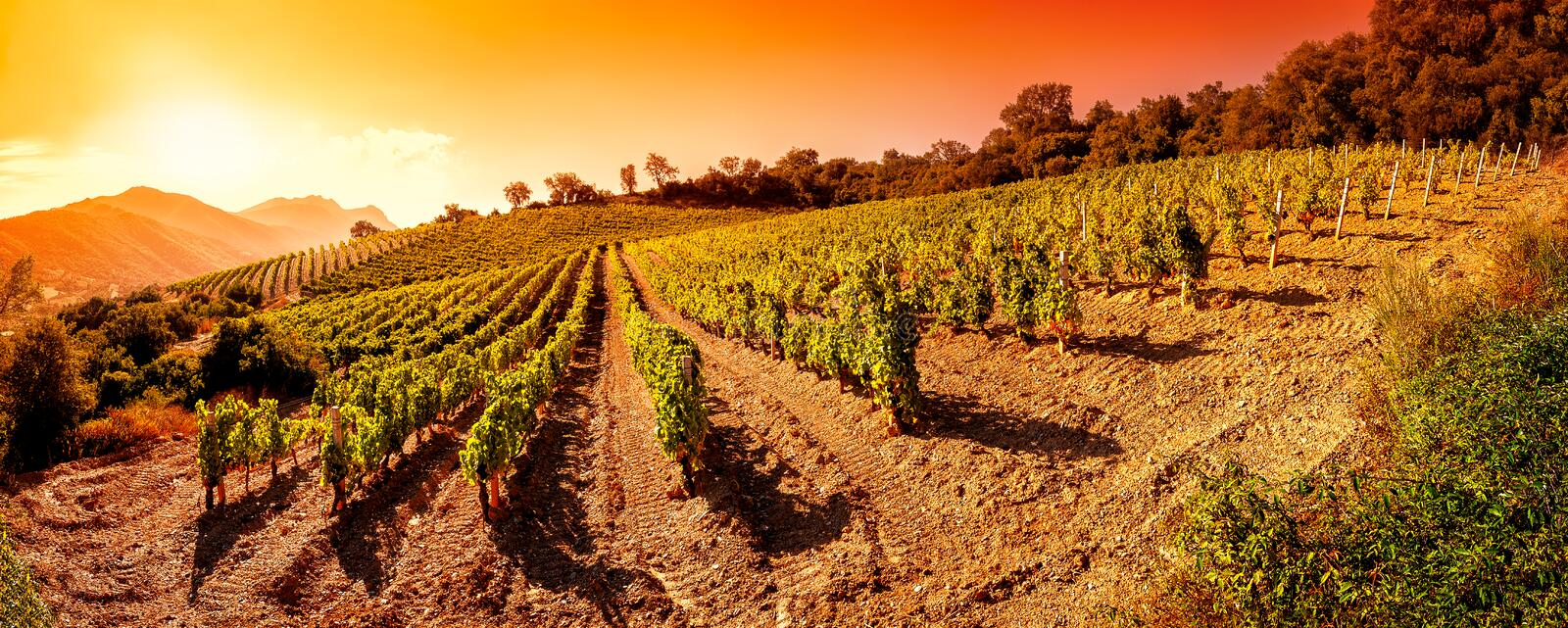 Sunrise on a hillside vineyard in Sardinia royalty free stock image
