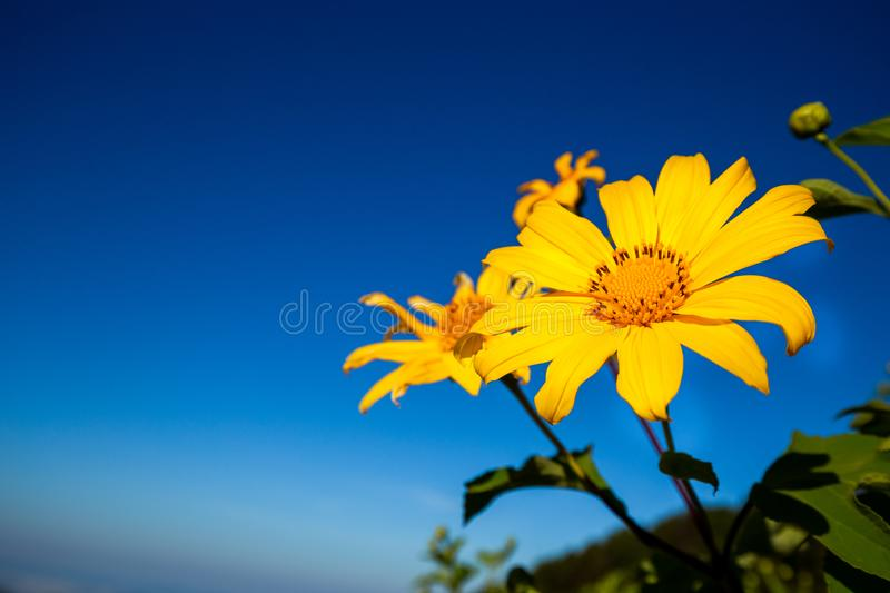 Mexican sunflowers on Tung Bua Tong in North of Thailand stock photo