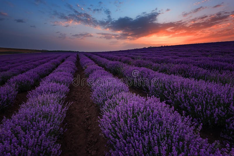 Sunrise at lavender field, Bulgaria stock photos