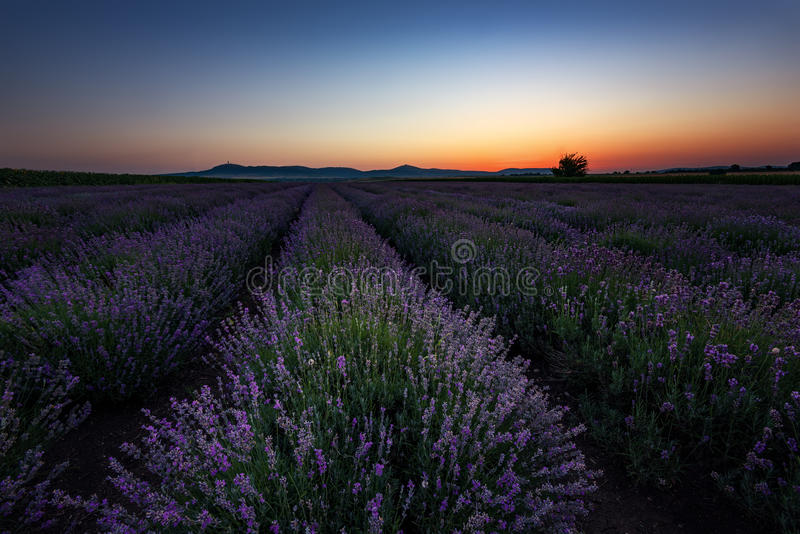 Sunrise at lavender field, Bulgaria stock photo