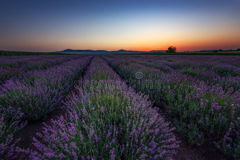 Sunrise at lavender field, Bulgaria stock image