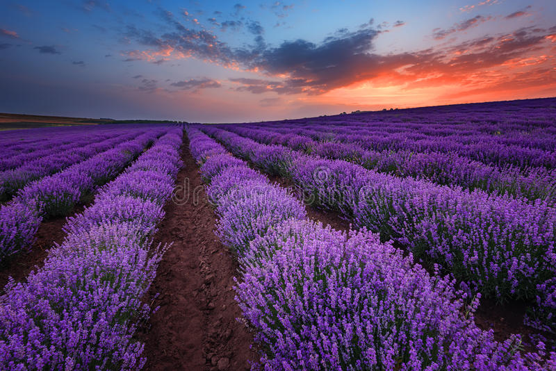 Sunrise at lavender field near the town of Burgas, Bulgaria royalty free stock photography